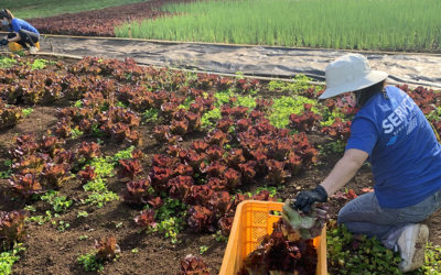 Servco Rescues Lettuce with Aloha Harvest on Earth Day